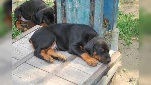 Big Central asian shepherd dog - Central Asian Shepherd Dog (335)