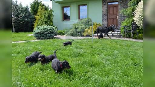 Puppies - Beauceron - Beauceron (044)