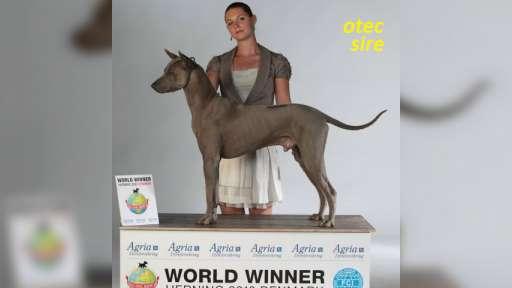 Thai ridgeback dog – blue puppies  with FCI pedigree. - Thai Ridgeback Dog (338)