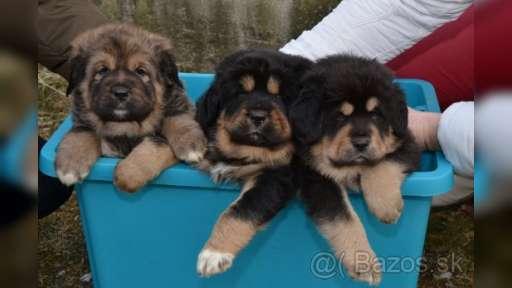 Tibetan Mastiff puppies for sale - Tibetan Mastiff (230)