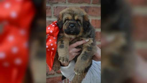 Tibetan Mastiff puppies for sale - Tibetan Mastiff (230)