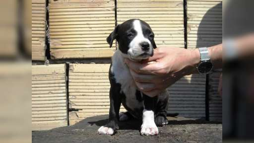 american staffordshire terrier - American Staffordshire Terrier (286)