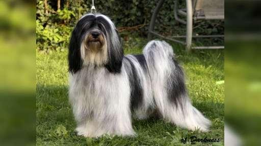 Tibetan terier - Tibetan Terrier (209)