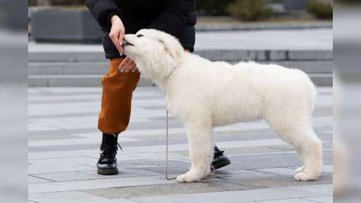 Puppies maremmano-abruzzese sheepdog - Maremma and Abruzzes Sheepdog (201)