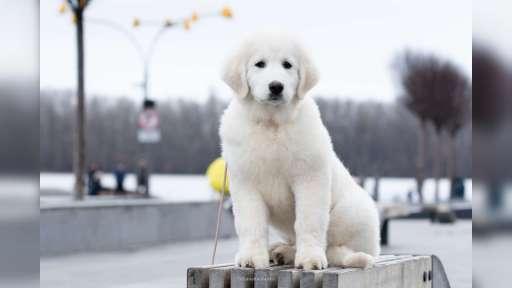 Puppy maremmano-abruzzese sheepdog - Maremma and Abruzzes Sheepdog (201)