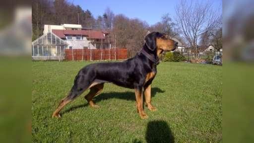Polish Hountinh Dog (Gonczy Polski) Champion puppies for sale - Polish Hunting Dog (354)