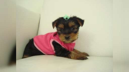 AKC Registered Teacup Yorkie Puppies - Yorkshire Terrier (086)
