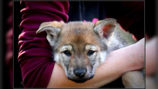 Czechoslovakian wolfdog puppies from country of origin - Czechoslovakian Wolfdog (332)