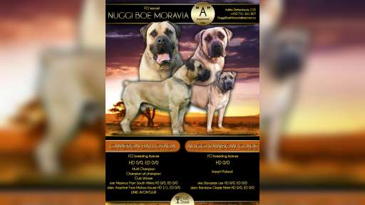 Boerboel puppies for sale - Boerboel