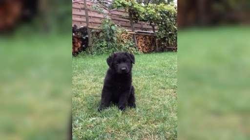 German Shephard-black grandson Ellute Mohnwiese - German Shepherd Dog (166)