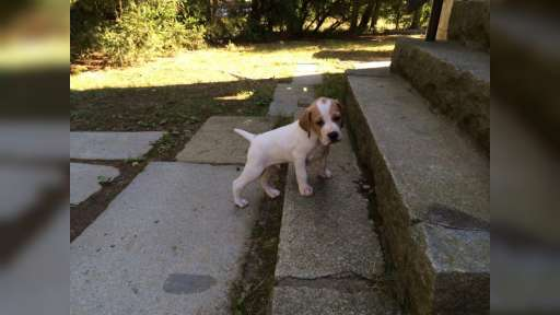 English Pointer - English Pointer (001)
