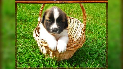 Beautiful Puppies of Moscow Watchdog  - Moscow Watchdog