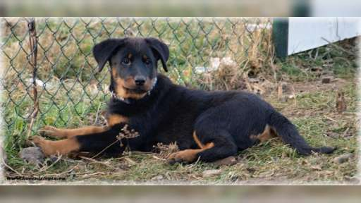 Beauceron - puppies - females - Beauceron (044)