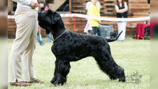 Giant schnauzer - puppies - Giant Schnauzer (181)