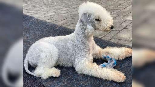 bedlington terrier puppies kennel Bohemia Opus - Bedlington Terrier (009)