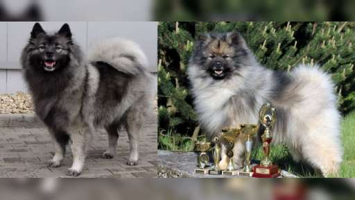 German Wolfspitz / Keeshond puppies with papers - German Spitz (097)