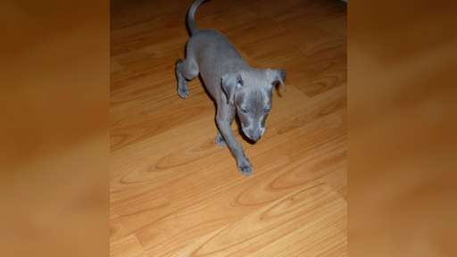 Italian Greyhound - puppy, blue color, with pedigree - Italský chrtík (200)