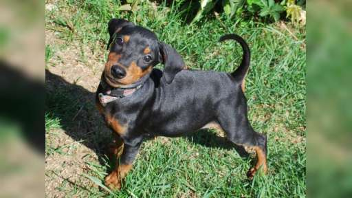 Puppie german pinscher! - German Pinscher (184)
