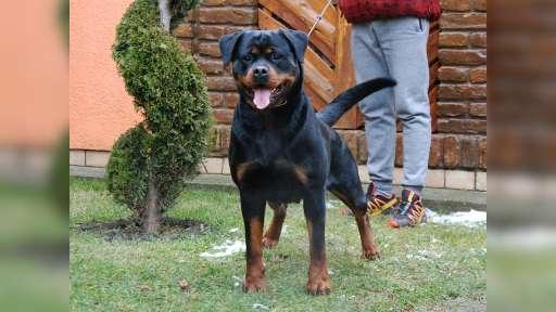 Rottweiler - Rotvajler (147)