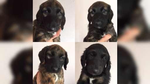 Puppies Afghan Hound (FCI) - Afghan Hound (228)
