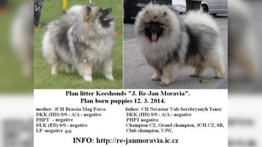 Keeshond excellente puppies for sale (pedigree FCI) - German Spitz (097)