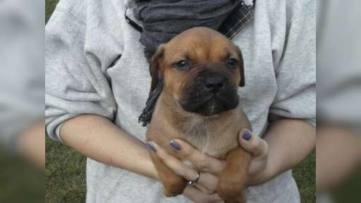 Puppies for sale  Pitbul&bandog - Crossbreed