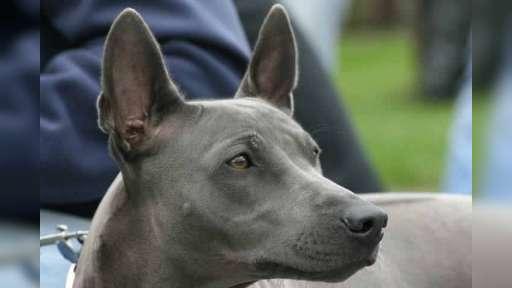 Thai ridgeback pupies for sale - Thai Ridgeback Dog (338)