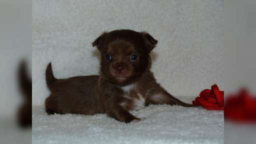 Chihuahua Chocolate - Chihuahua (218)