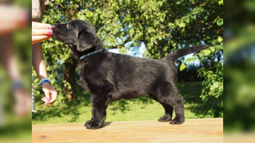 Flat coated retriever puppies - Flat Coated Retriever (121)