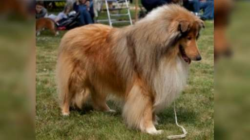 Collie rough- excelent puppy for sale - Collie Rough (156)