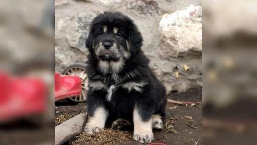 TIBETSKÁ DOGA-DO-KHYI-TIBETAN MASTIFF - Tibetan Mastiff (230)