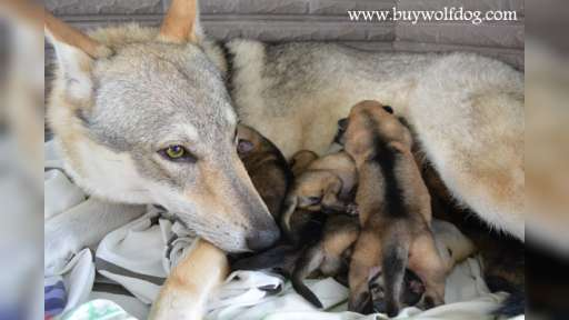 Czechoslovakian Wolfdog Puppies For Sale From New York, USA - Czechoslovakian Wolfdog (332)