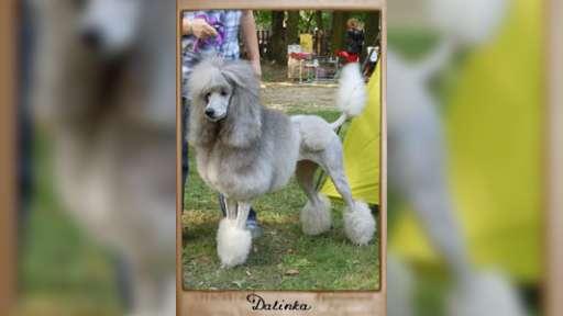 Silver standard poodle - Poodle (172)