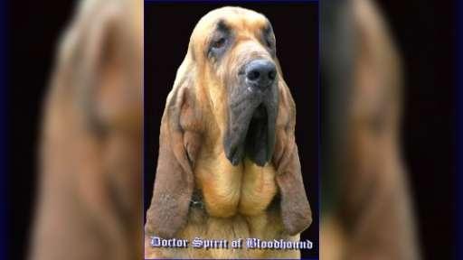 bloodhound puppies - Bloodhound (084)