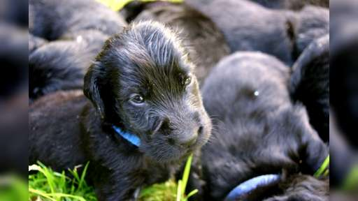 Flat coated retriever puppies, Poland - Flat Coated Retriever (121)