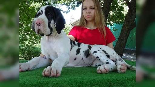 Very beautiful puppy - Great Dane (235)
