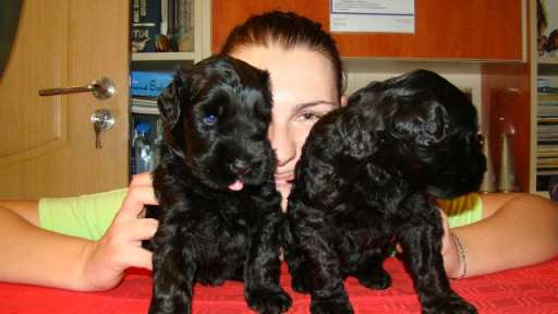 Black Russian Terrier puppies - Černý teriér (327)
