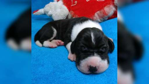 Available for sale are very beautiful puppies - Great Dane (235)