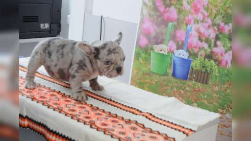 Blue merle end lilac bulldog puppies - Bulldog (149)