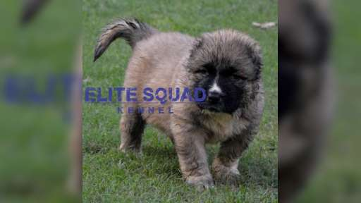 Caucasian Shepherd puppies for SALE- India - ELITE SQUAD KENNEL - Caucasian Shepherd Dog (328)