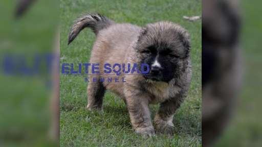 Caucasian Shepherd puppies for SALE- India - ELITE SQUAD KENNEL - Caucasian Shepherd Dog (328)