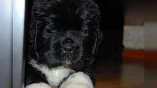 Newfoundland puppies - Newfoundland (050)