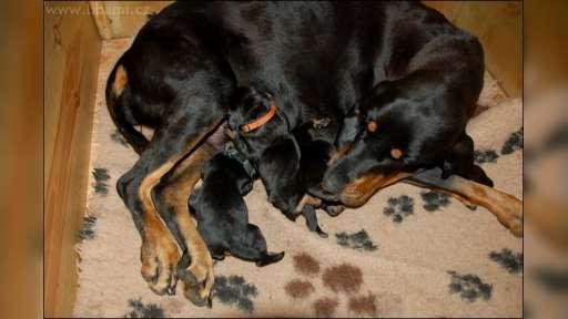 Black and Tan Coonhound - Black and Tan Coonhound (300)