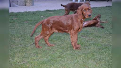 ADDY - 4 month old irish setter - Irish Red Setter (120)