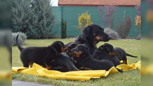 Beauceron - puppies for sale - Beauceron (044)