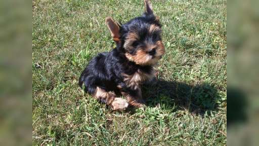 Yorkshire terrier puppies with a pedigree - Yorkshire Terrier (086)