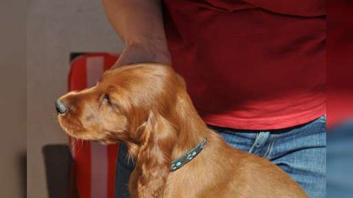 ADDY - 4 month old irish setter - Irish Red Setter (120)