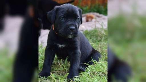 Bandog Mastiff puppies for sale 2016 - Crossbreed