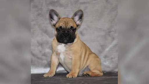 French bulldog puppies - French Bulldog (101)