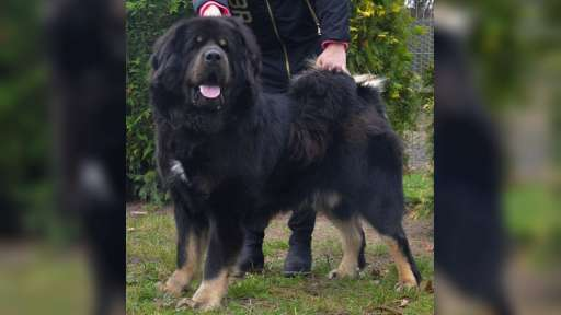 Tibetan Mastiff puppies from great combination - Tibetan Mastiff (230)